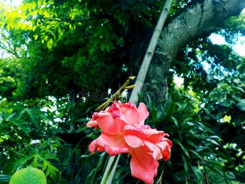 Mante sur la fleur photo stock