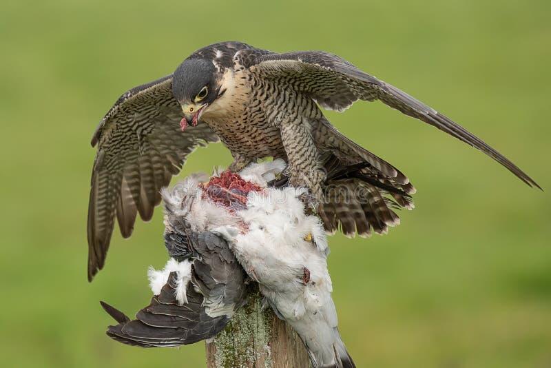 Manteaux de faucon pérégrin au-dessus de proie image libre de droits