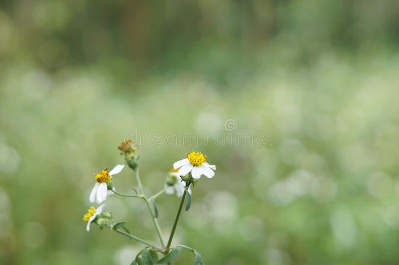 Mantelknopfblume lizenzfreies stockfoto