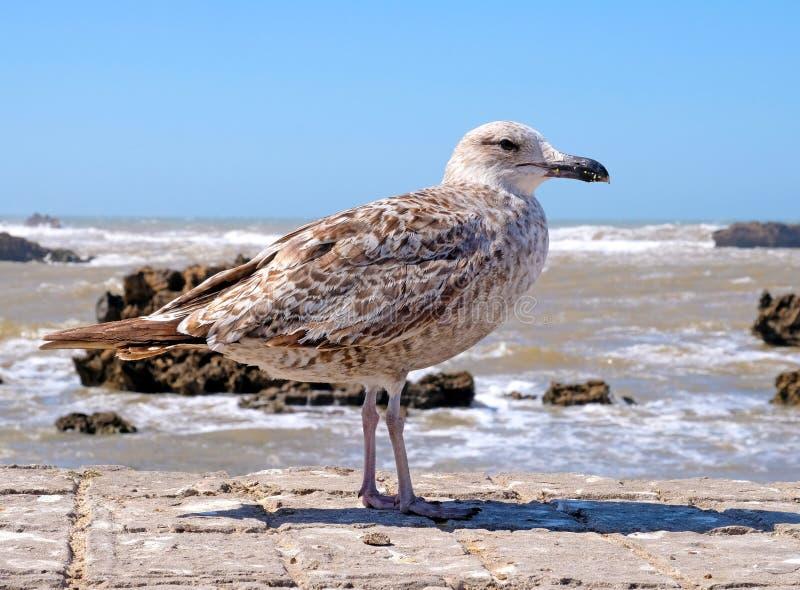 Mantelmöwe auf den Ufern des Atlantiks stockfoto