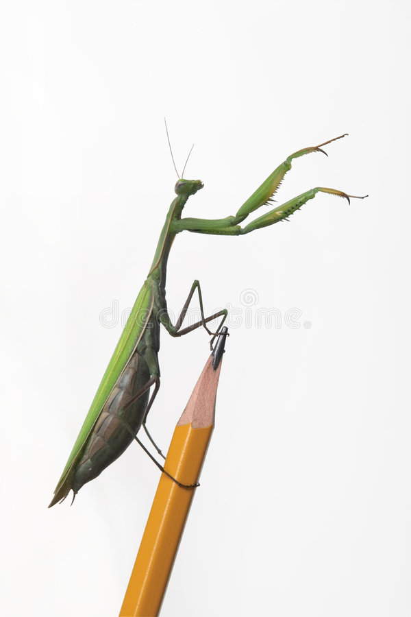 Mantid stock photo