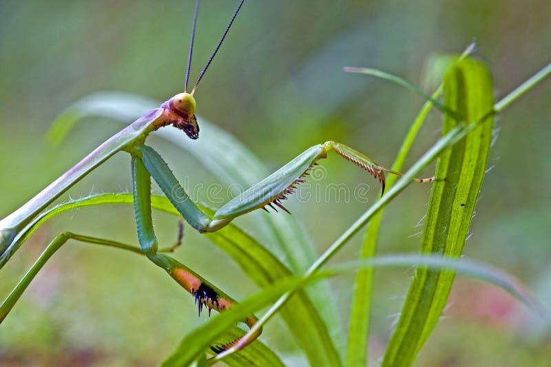 Mantid a aperçu dans le reste de la forêt tropicale atlantique photo stock