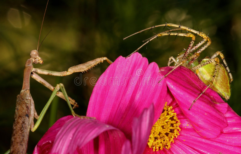 Mantid CONTRE le lynx images libres de droits