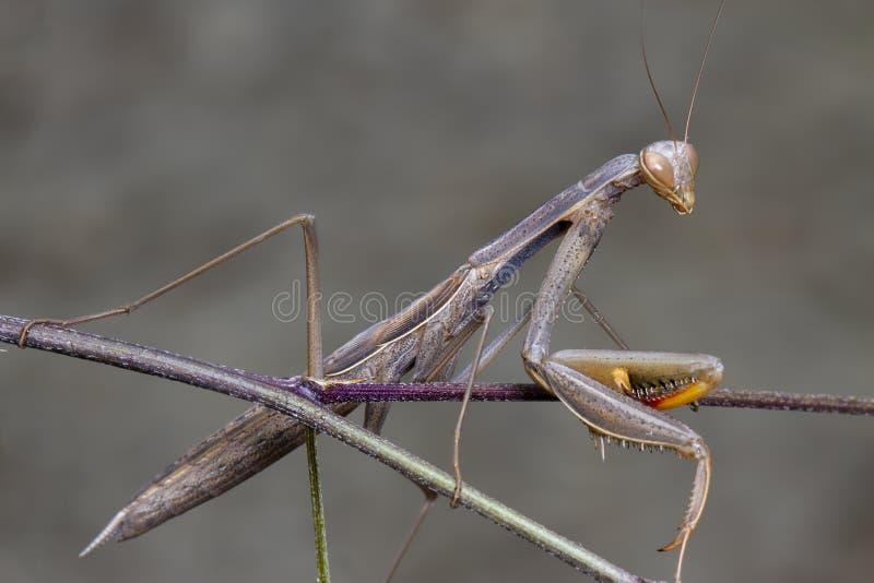 Mantidae verde grigio di religiosa del mantide che posa su un ramo fotografia stock