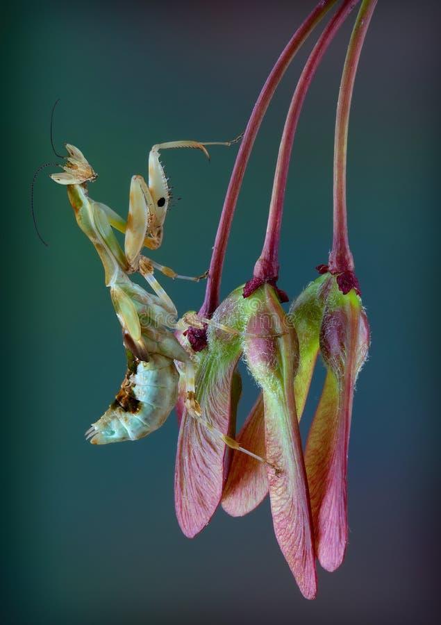 Mantide del fiore del Kenya sui baccelli del seme immagini stock