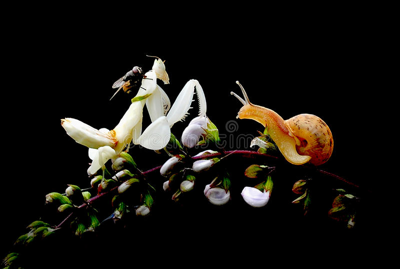 Mantide dell'orchidea immagini stock
