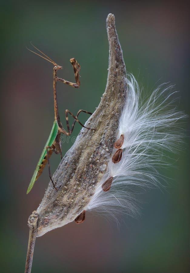 Mantide di Texas Unicorn sul baccello del milkweed fotografia stock