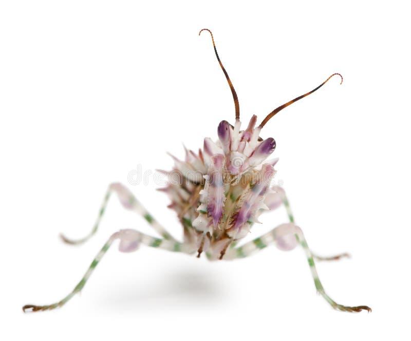 Mantis épineux de fleur, Mantis de fleur photo stock