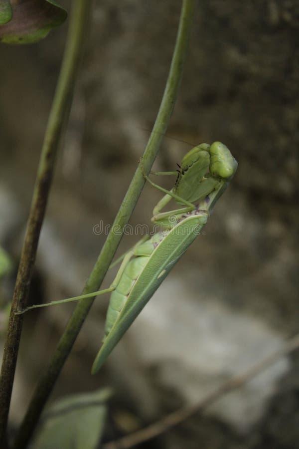 Mantis έτοιμο να επιτεθεί στοκ εικόνες
