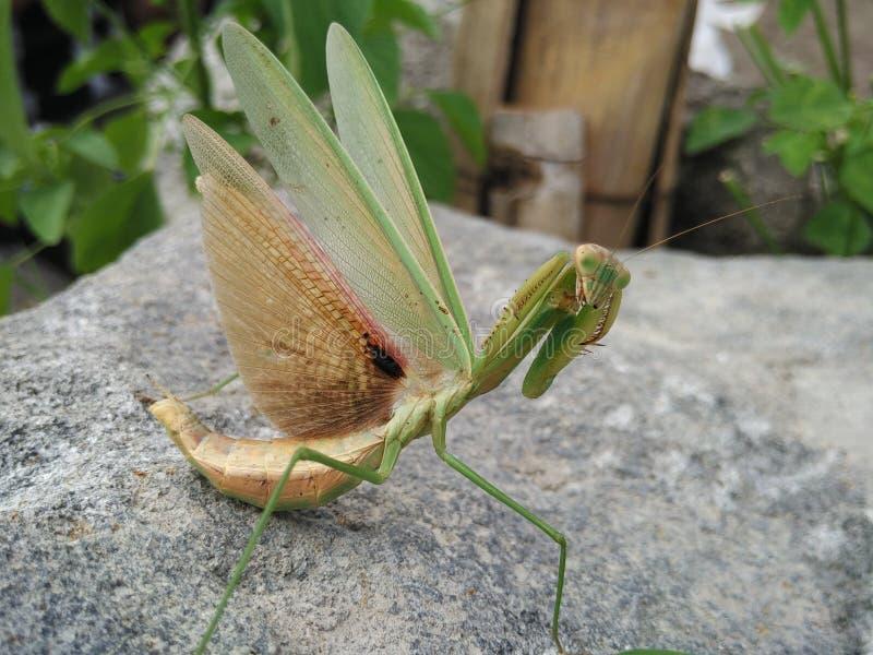 mantis ανασκόπησης που προσεύχονται το λευκό στοκ εικόνα