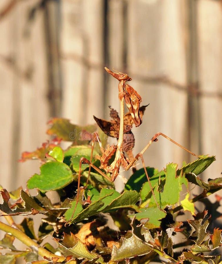 Mantis από την οικογένεια Sphondromantis που κρύβεται στο πράσινο φύλλο στοκ φωτογραφίες με δικαίωμα ελεύθερης χρήσης