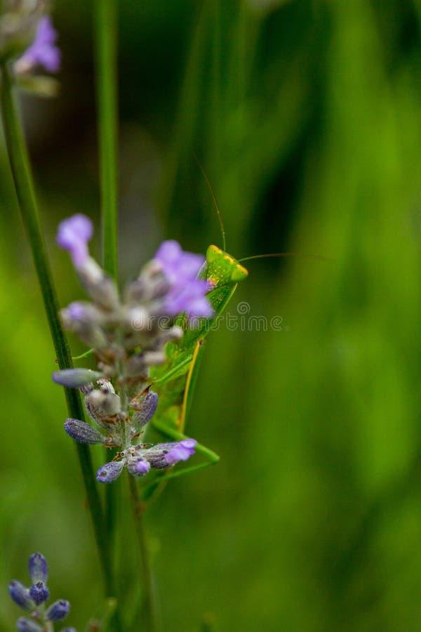 Mantis επίκλησης που κρυφοκοιτάζουν από πίσω lavender στοκ εικόνα με δικαίωμα ελεύθερης χρήσης