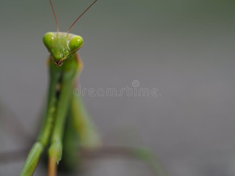 Mantis επίκλησης στο γκρίζο υπόβαθρο στοκ εικόνα με δικαίωμα ελεύθερης χρήσης