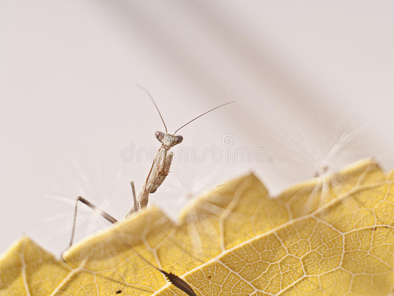 Mantis επίκλησης στοκ εικόνες