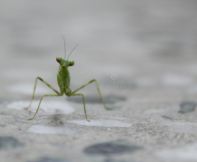 Mantis επίκλησης στοκ φωτογραφία με δικαίωμα ελεύθερης χρήσης