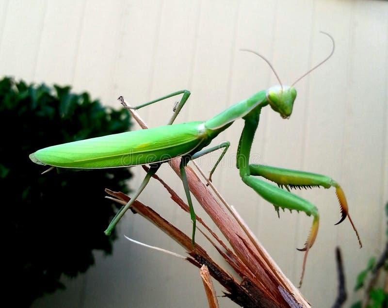 Mantis μιας femake επίκλησης στοκ φωτογραφίες