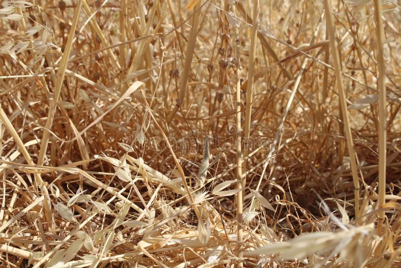 Mantis στους κίτρινους ξηρούς κλάδους στοκ εικόνα με δικαίωμα ελεύθερης χρήσης