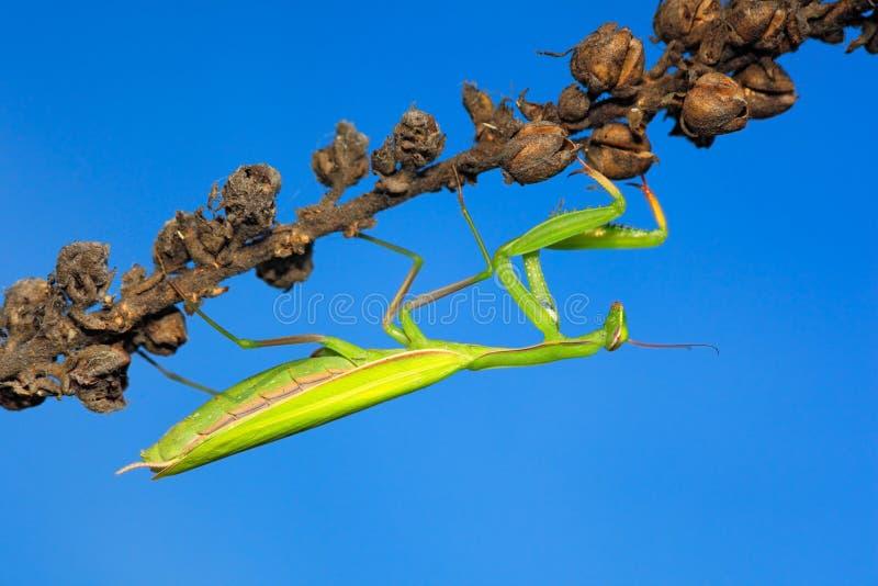 Mantis στο σκούρο μπλε ουρανό πνεύματος βιότοπων φύσης στοκ εικόνες