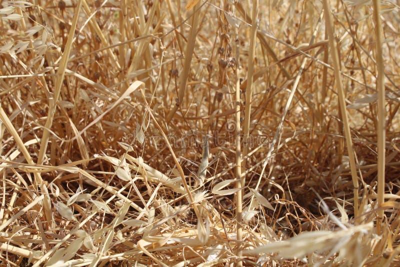 Mantis в желтых высушенных ветвях стоковое изображение rf