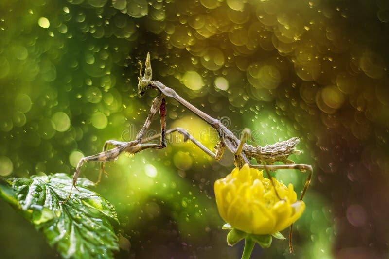 Mantis в красивой волшебной предпосылке стоковые изображения rf