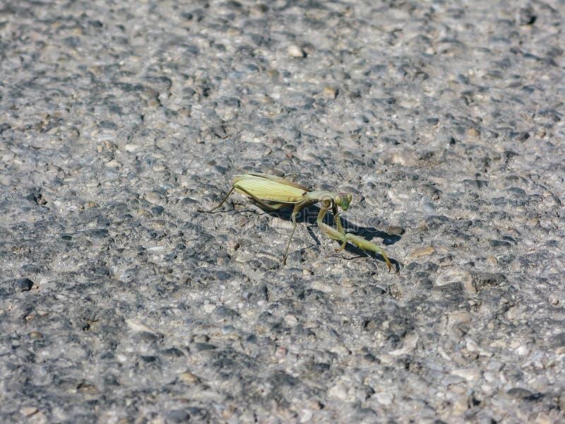 Mantis замаскированный на почве с камнями и sprigs стоковое фото rf