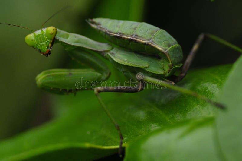 Mantis на зеленых лист стоковое изображение rf