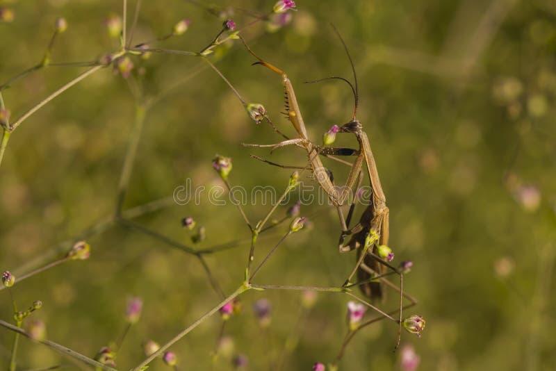 mantis на цветке стоковое фото