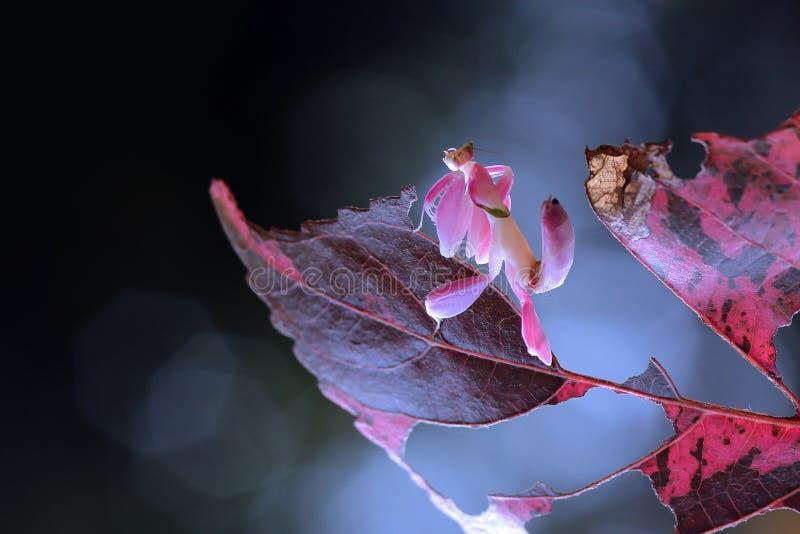 Mantis орхидеи, животные, макрос, bokeh, насекомое, природа, стоковая фотография