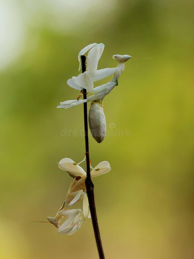 Mantis орхидеи стоковая фотография rf