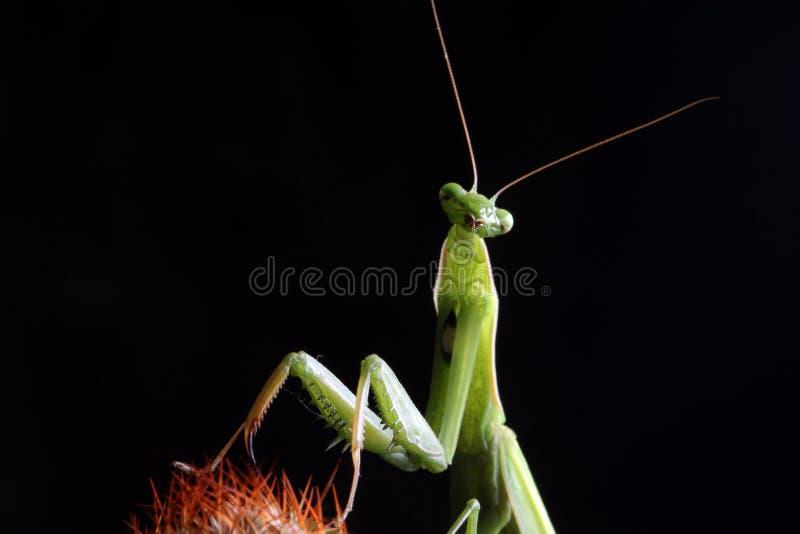 Mantis посмотрел меня стоковое изображение