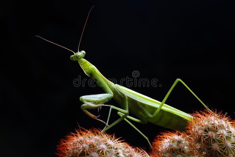 Mantis посмотрел меня стоковые фото