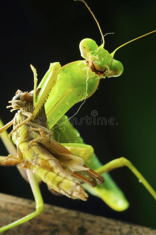 Mantis stockbilder