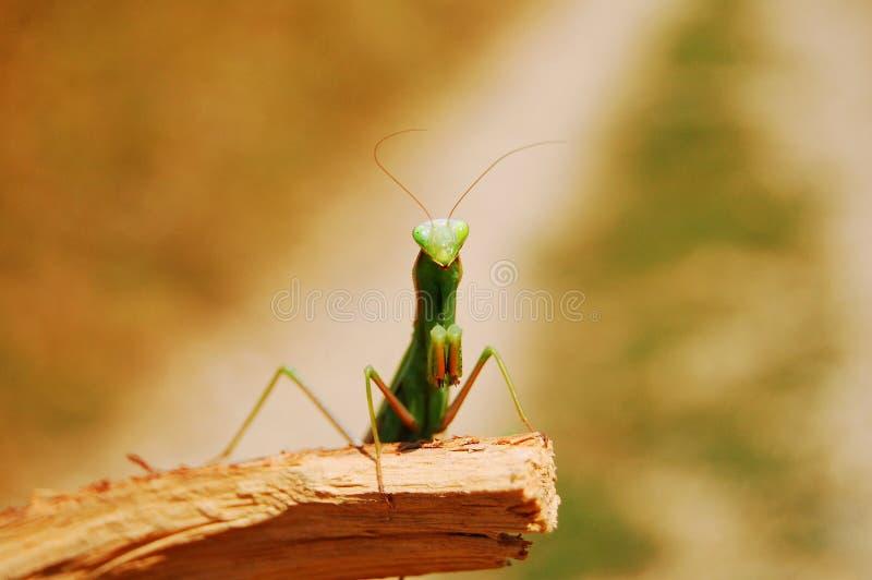 Mantis fotografia stock libera da diritti
