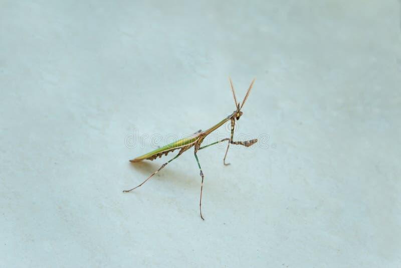 mantis stock foto's