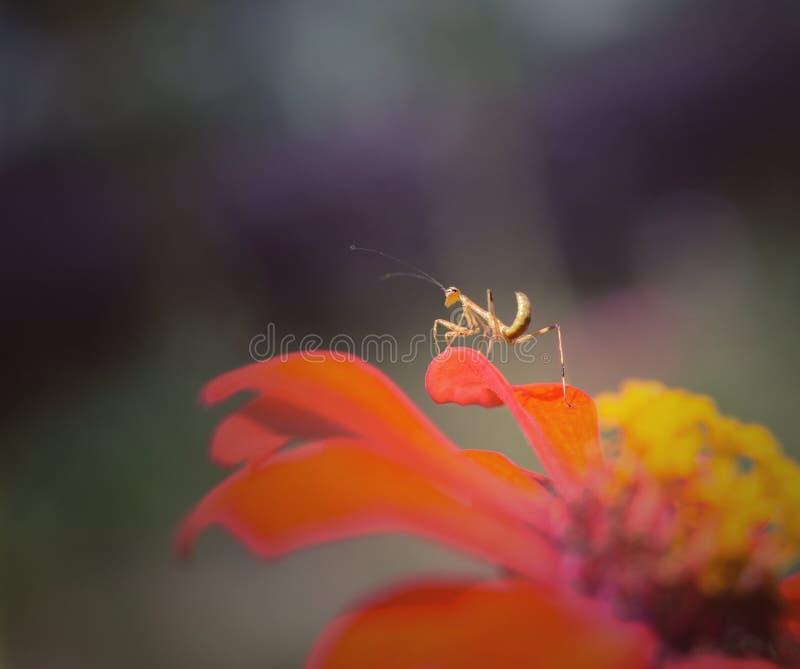 mantis royalty-vrije stock afbeelding