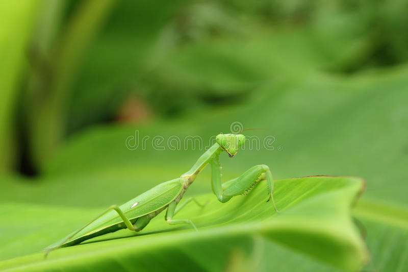 Download Mantis stock photo. Image of preying, looking, macro - 20899328