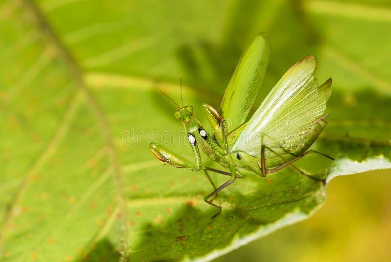 Download Mantis Stock Photos - Image: 21035603