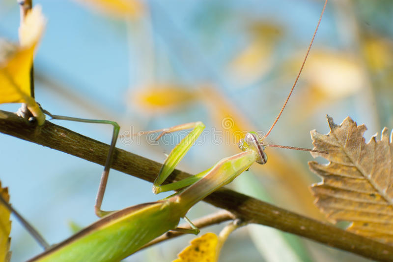 Mantis fotografia de stock royalty free