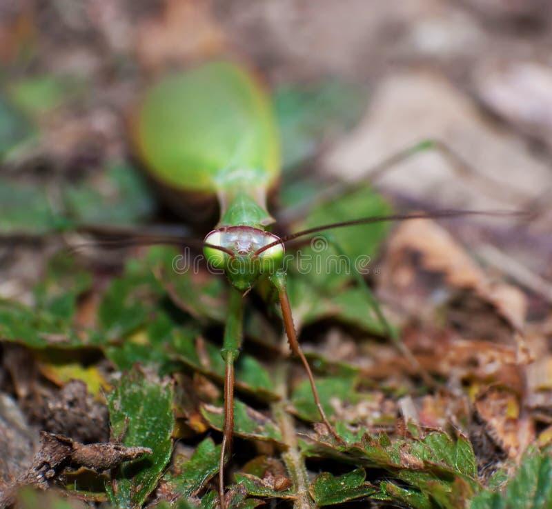 mantis стоковая фотография rf