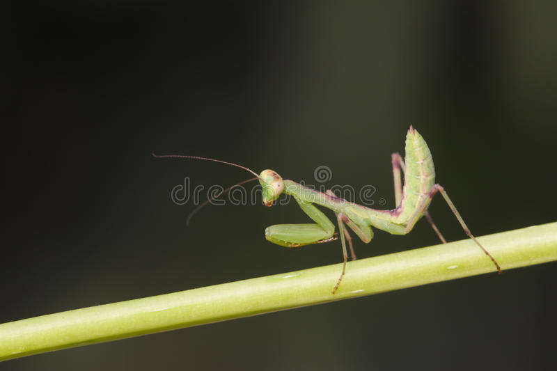 Mantis. Closeup of mantis on green plant royalty free stock photography
