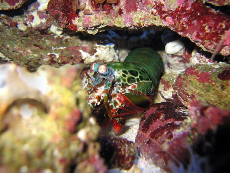 Download Mantis stock photo. Image of cray, marine, australia - 25445000