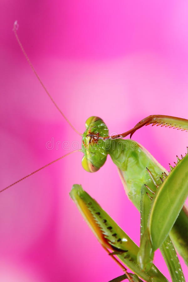 Download Mantis stock image. Image of antenna, green, invertebrate - 26289823