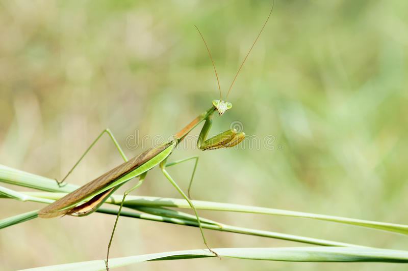 mantis image stock