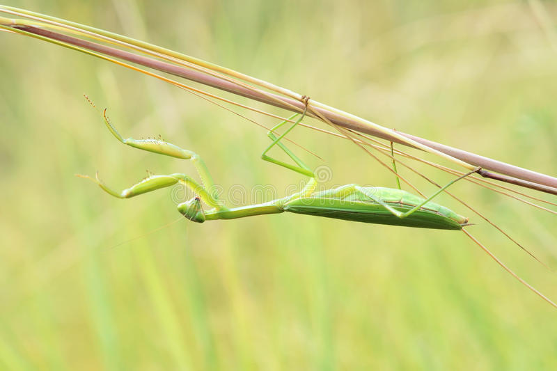mantis photo stock