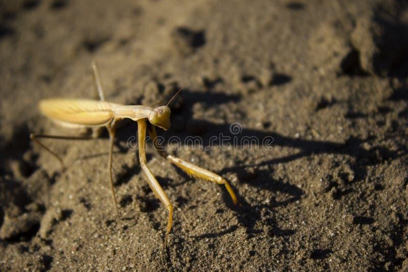 mantis stockfoto