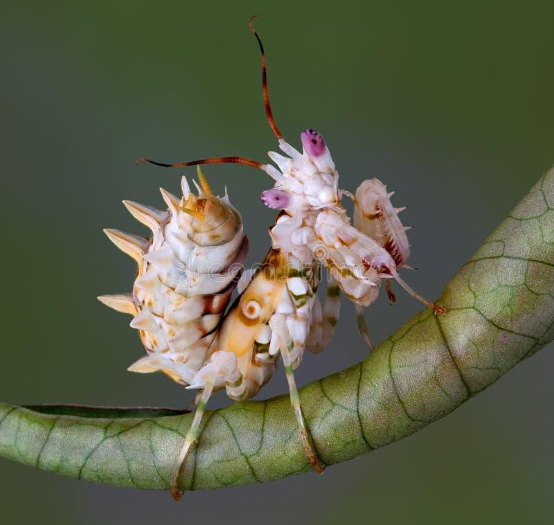 mantis 5 spiny стоковая фотография