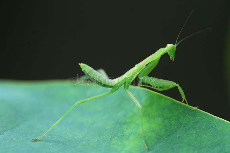 Download Mantis stock image. Image of blooming, grasshopper, infest - 5622447