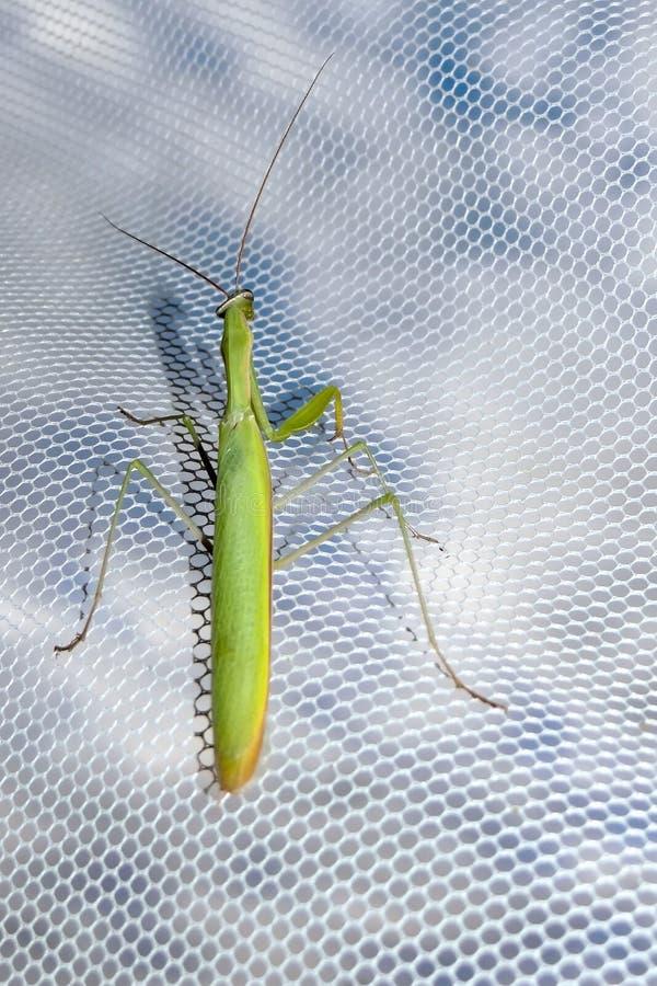mantis stock foto