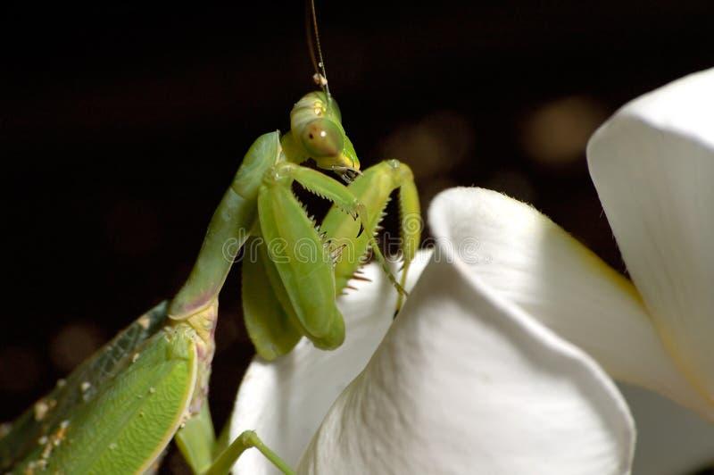 mantis στοκ φωτογραφία
