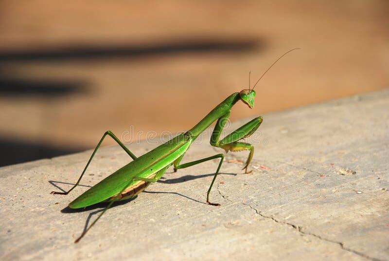 Mantis stockfotografie